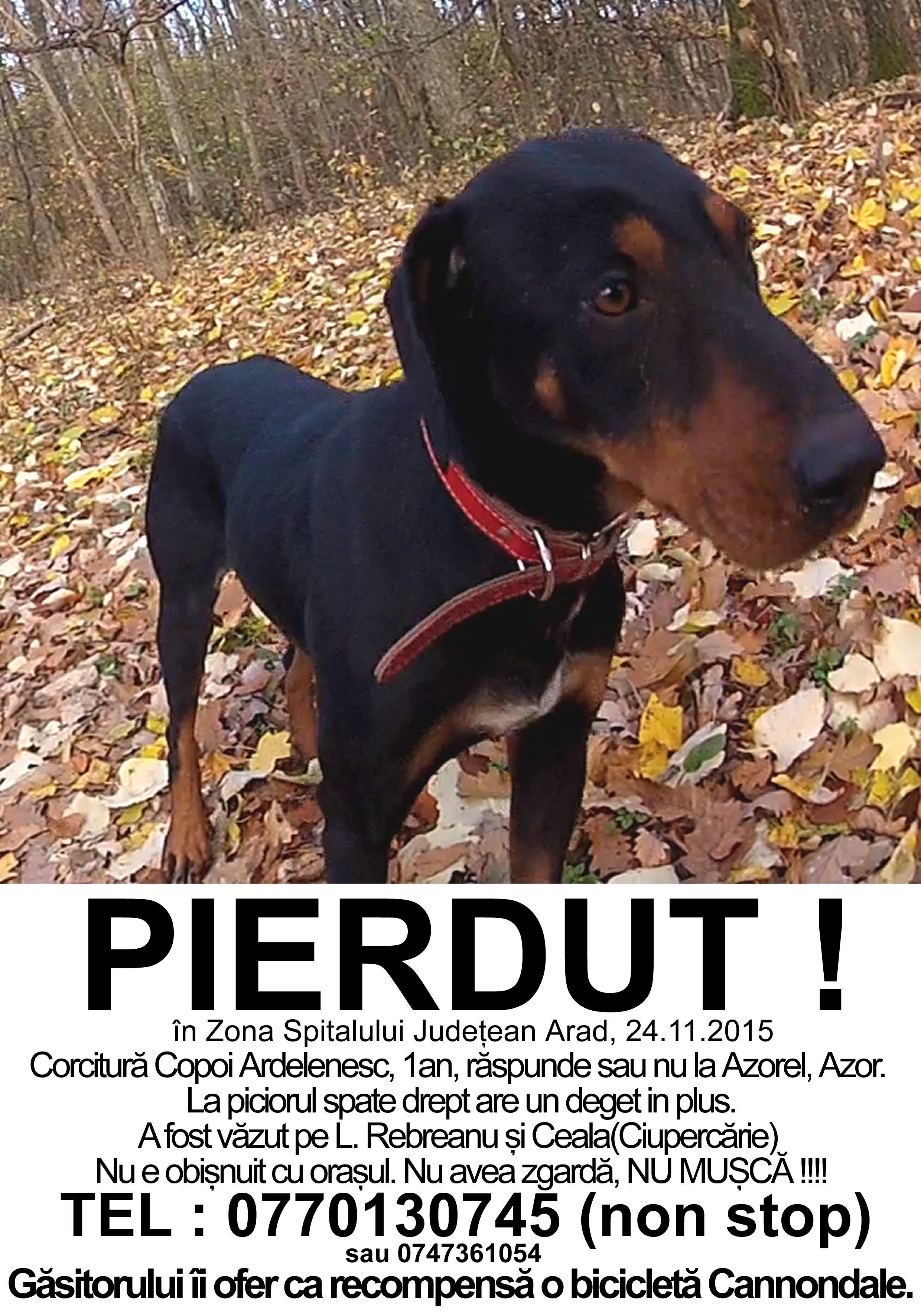 Pierdut Corcitura Copoi ardelenesc, Arad, 24.11.2015